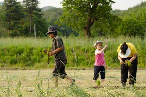 Rice planting at the natural farm of Seonghyun Choi in Hongcheon, South Korea (photo: Patrick M. Lydon / FinaStraw.org)