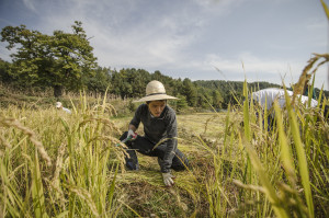 Cheon Jun harvesting rice in Hongcheon, Korea (CC BY-SA, Patrick M. Lydon / Final Straw)