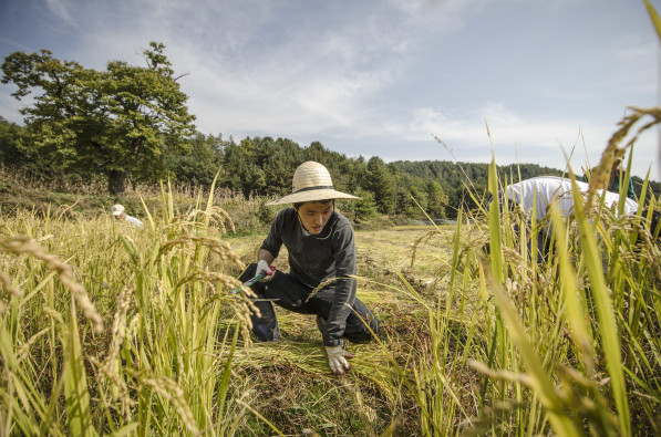 Chanjun Jeon cuts rice during harvest in Hongcheon, South Korea (Photo: P.M. Lydon | Final Straw)