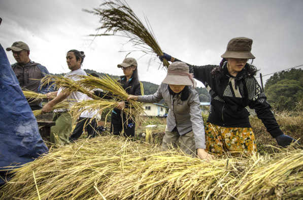 Rice threshing using foot-power during harvest in Hongcheon, South Korea (Photo: P.M. Lydon | Final Straw)
