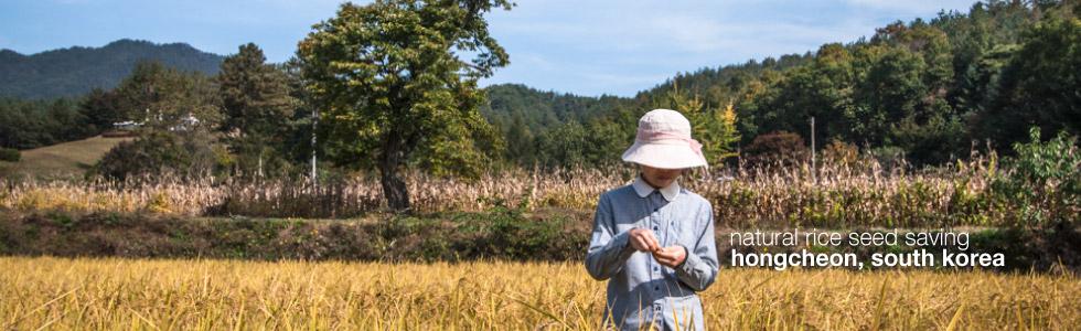 Rice Seed Saving in Hongcheon, South Korea