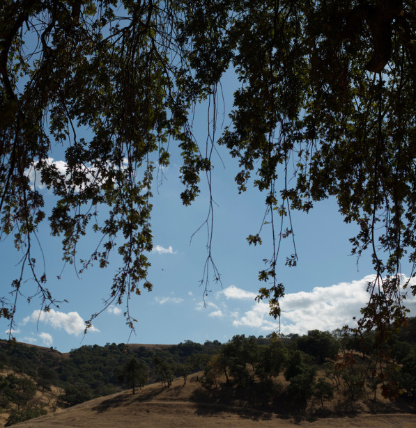 Oak trees at Coyote Valley Nature Preserve in California (photo: P.M. Lydon, Final Straw | cc by-sa)